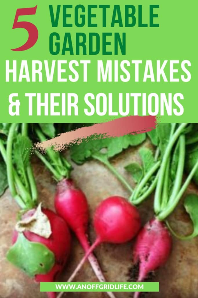 5 Vegetable Garden Harvest Mistakes & Their Solutions text overlay on radishes