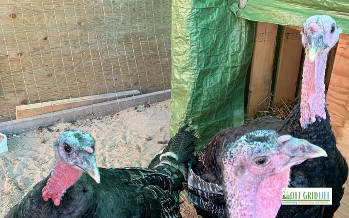 Turkeys in an outdoor pen being raised for our family's food supply