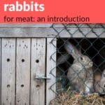 How to raise rabbits for meat - meat rabbits in outdoor hutch with screen and door