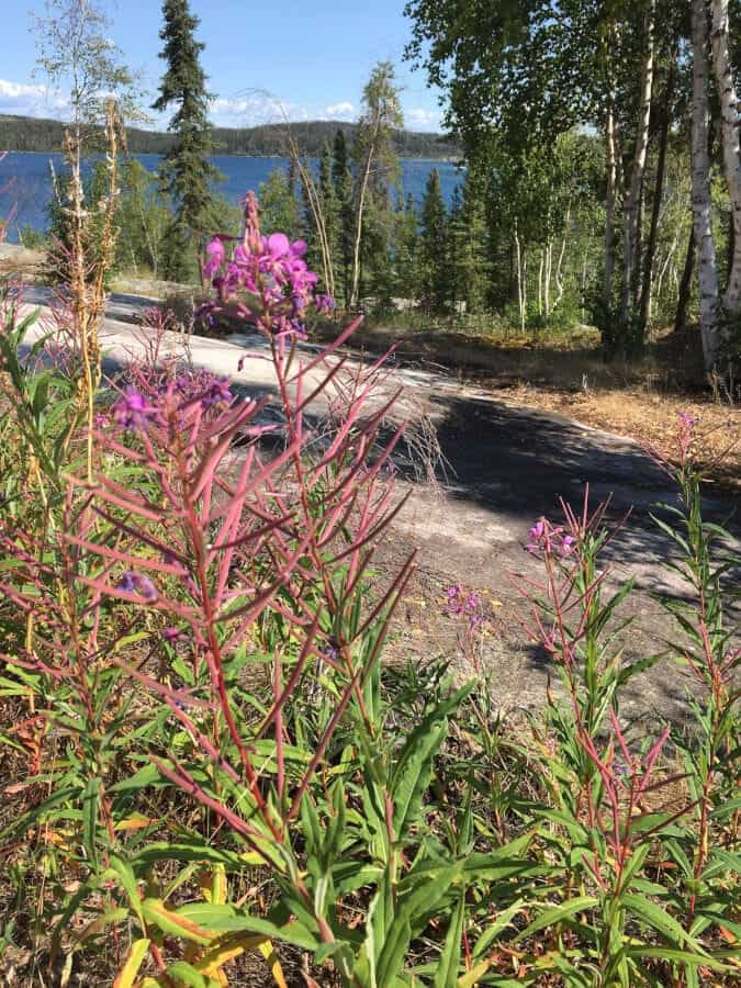 fireweed in NWT