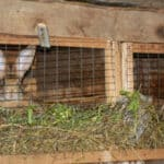 Rabbits in wooden hutch with mesh door