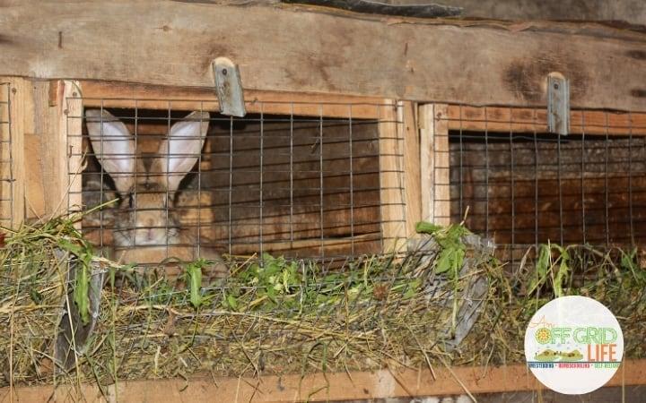 Rabbits in wooden hutch with mesh door