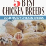 Best Chicken Breeds for Backyard Coop Success
