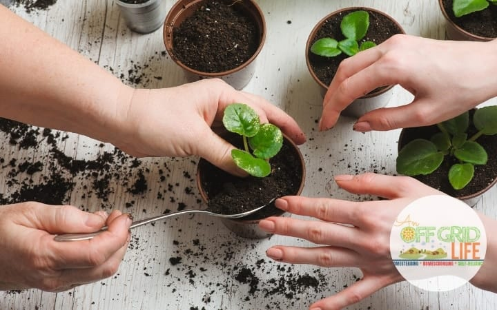 Chlld and adult woman's hands planting herbs in pots on a white table
