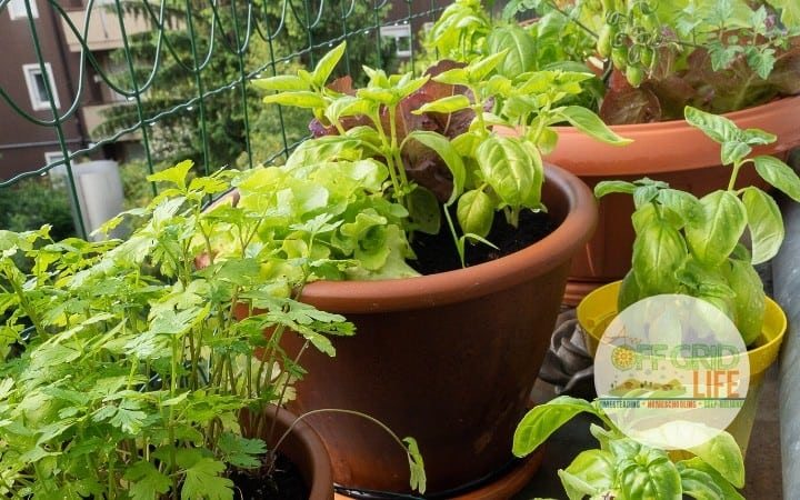 vegetables and herbs growing in balcony containers in a highrise apartment
