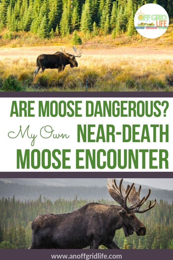 Are Moose Dangerous?