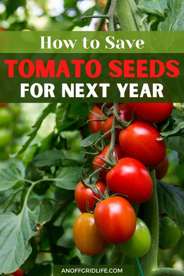 """text overlay """"how to save tomato seeds for next year"""" with an image of dark red tomatoes on the vine on a green plant."""