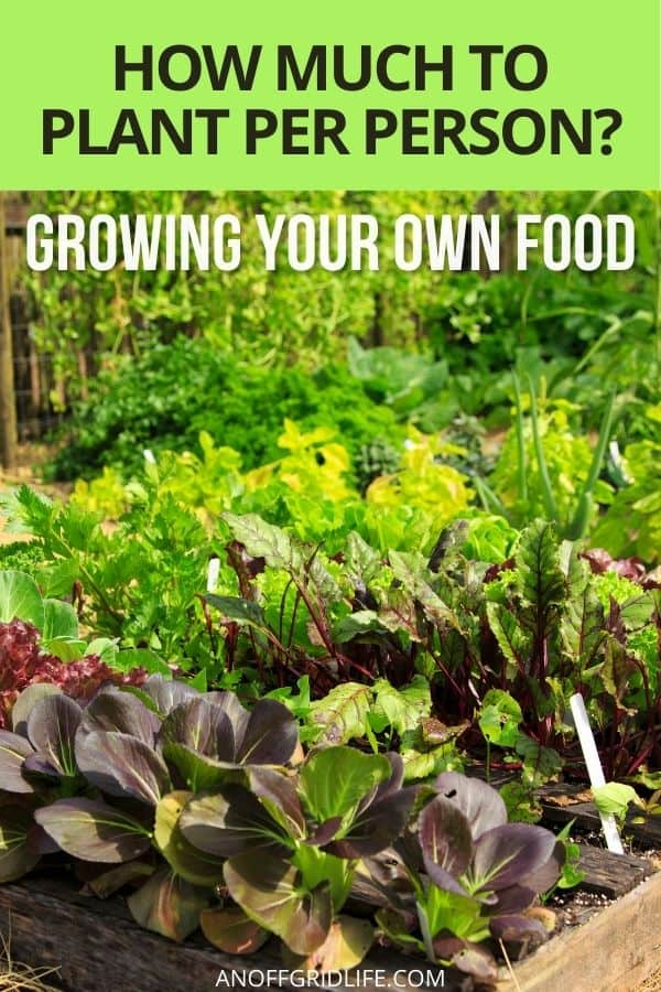 """a pinterest image of a vegetable garden with dark green lettuces in it, text overlay """"how much to plant per person, growing your own food""""."""
