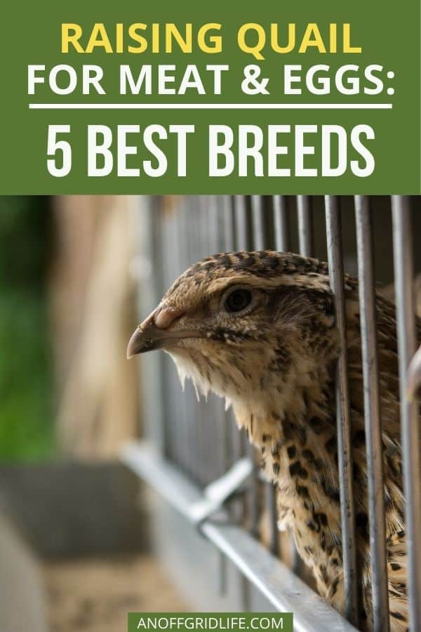 text overlay raising quail for meat and eggs: 5 best breeds, on a picture of a quail sticking its head out of a cage.
