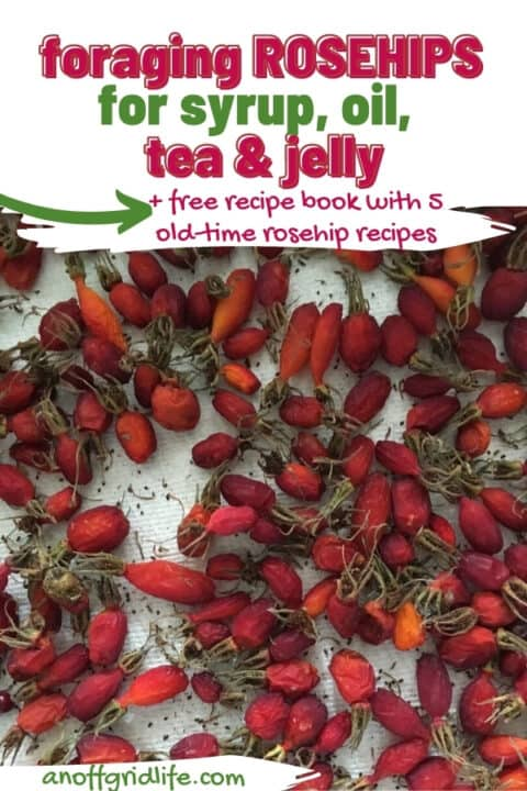 Foraging Rosehips for Syrup, Oil, Tea & Jelly
