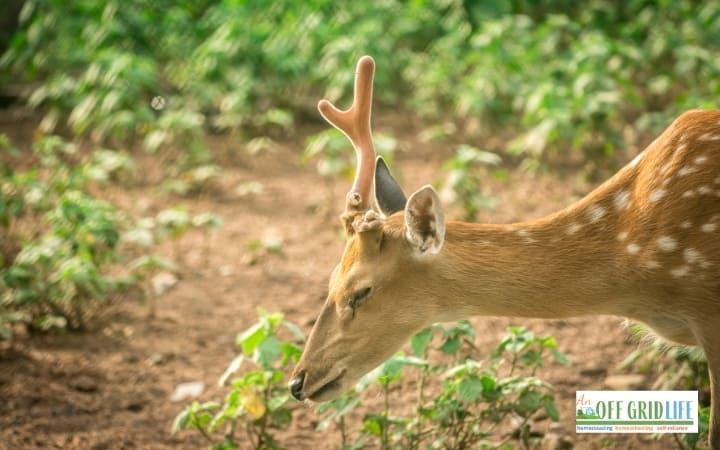 Deer eating seedlings in garden