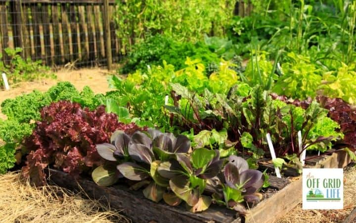 a picture of some dark purple and green lettuces is in a vegetable garden with wood trim.