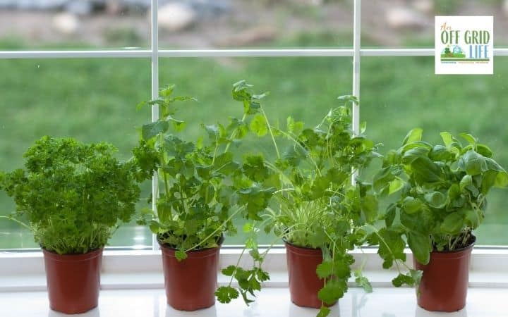 a picture of 4 small pots of green herbs on a white windowsill on a sunny day.