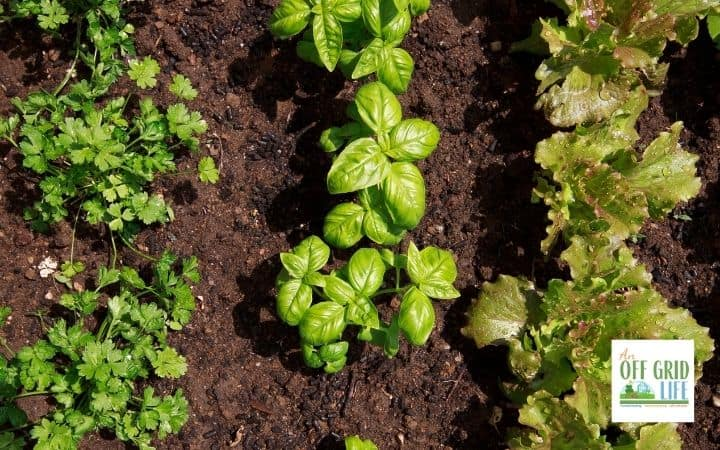 a picture of some fresh basil in a vegetable garden next to a few other green plants.
