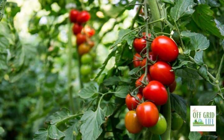 a picture of a large vine of dark red tomatoes still on the plant