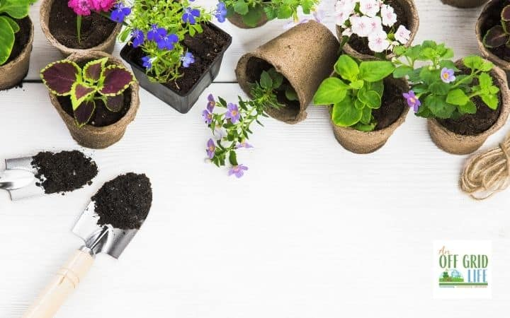 an image of several small pots on a white counter with purple flowers in the pots. two trowels with soil on them.