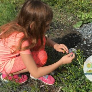 Young girl picking chamomile/pineappleweed outdoors