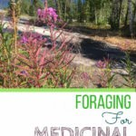 Foraging for medicinal plants around our cabin in Canada's subarctic yields at least 7 useful wild edibles and greens. #foraging #wildedibles #forage #offthegrid
