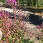 Fireweed growing in rocky area