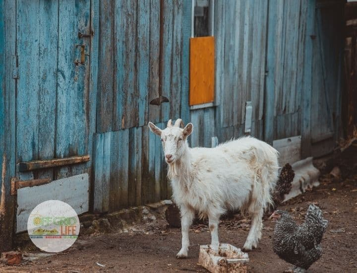 Goat and chickens in run outside a painted blue wooden wall