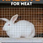 """a white rabbit in a cage with text overlay """"how to raise rabbits for meat"""""""