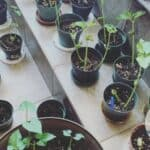 Learning how to grow black beans indoors in pots on a tile floor and steps