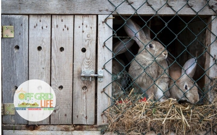 Raising rabbits for meat in a hutch outdoors