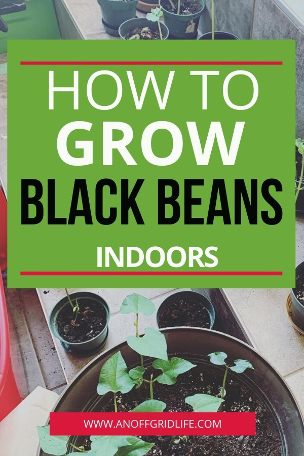Beans growing in pots indoors on tile steps