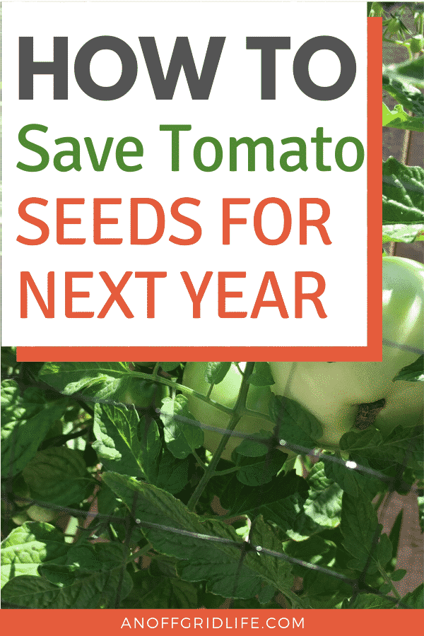 How to save tomato seeds for next year - text overlay on an image of tomatoes ripening on a vine in a backyard.