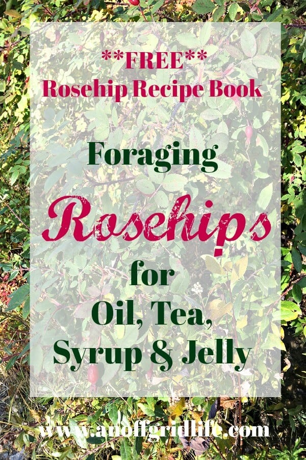 Foraging rosehips for oil #rosehips #foragingrosehips