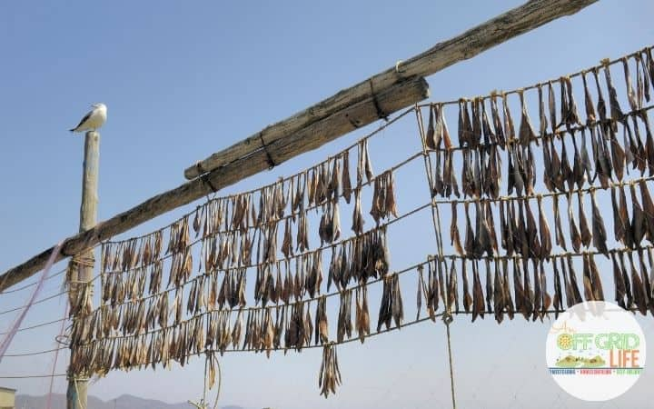 a few hundred dried fish hanging on lines in 4 rows outdoors with blue skies.