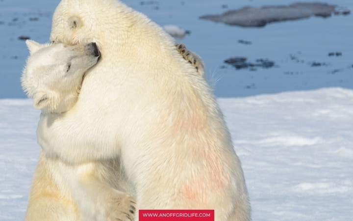 Two polar bears wrestling outdoors in the snow