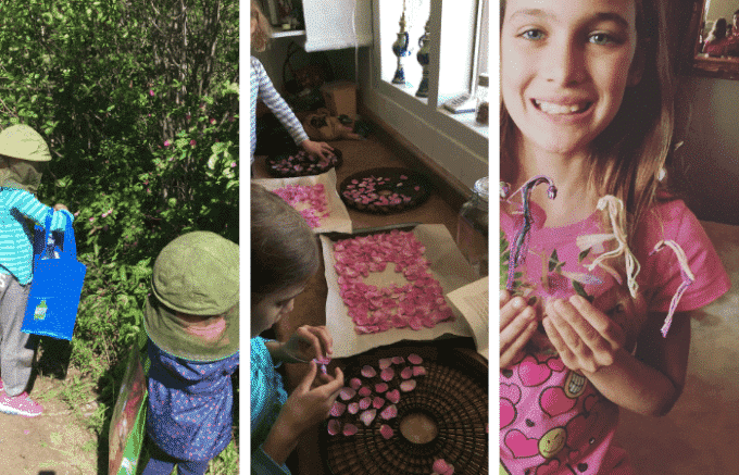 Children foraging wild roses and dehydrating them