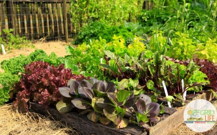 a picture of a full vegetable garden with a variety of dark green and purple lettuces.