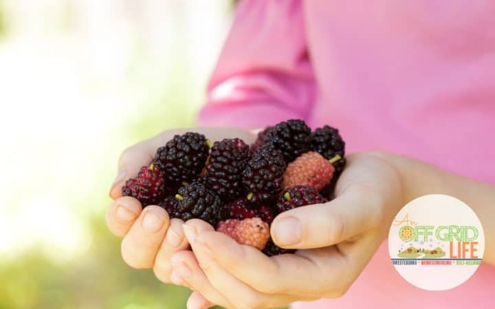 Child holding foraged mulberries