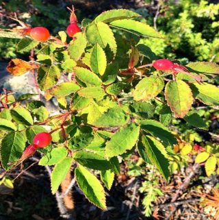 Tips on foraging rosehips for oil, tea, jam and syrup plus 5 free recipes. #foraging #foragingfood #rosehipsforoil #survival #offgridlife